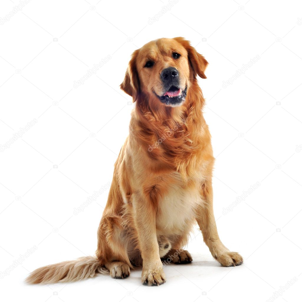 Purebred golden retriever sitting in front of a white background — Stock Photo #4165716