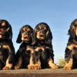 Puppies english cocker - Stock Photo