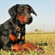 Doberman — Foto de stock #4253264
