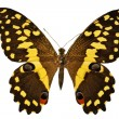 Black and yellow butterfly — Stock Photo