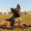 Stock Photo: Puppy malinois