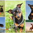 Miniature pinscher — Stockfoto