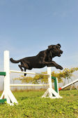 Labrador retriever in agility — Stock Photo