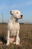 Puppy dogo argentino — Stock Photo