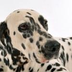 Dalmatian — Stock Photo #4993001