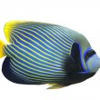 Emperor Angelfish — Stock Photo #5152916