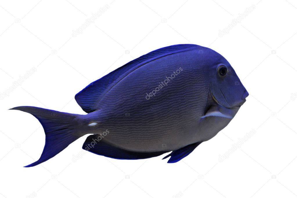 Blue tang fish stock photo cynoclub 5152927 for Blue tang fish price