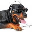 Rottweiler and music — Stock Photo