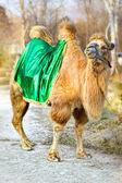 Верблюд — Стоковое фото