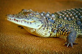 Reptile a crocodile — Stock Photo