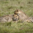 Cheetah cubs cleaning one another — Stock Photo