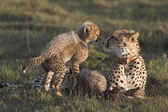 Cheetah mother and young cub — Stock Photo