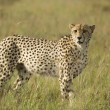������, ������: Cheetah scanning plains