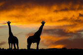 African wildlife silhouette — Stock Photo