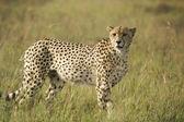 Cheetah scanning plains — Stock Photo