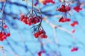 A tree blooming with Rowan berries in the fall, shallow focus — Stock Photo