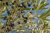 OLive branches — Stock Photo