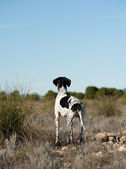 Pointer hunting dog — Stock Photo