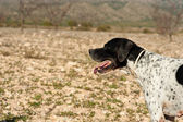 Pointer hunting dog — Stock Photo