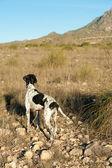 Ukazatel lovecký pes — Stock fotografie