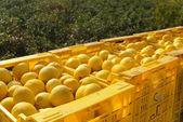 Lemon harvest — Stock Photo
