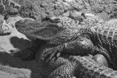 Two Alligators — Stock Photo