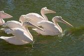 группа большие белые пеликаны — Стоковое фото