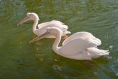 Two Great White Pelicans — Stock Photo