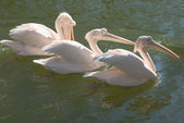 Group of Great White Pelicans — Stock Photo