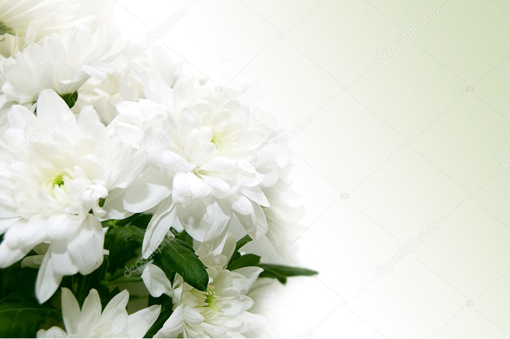 White chrysanthemum bouquet on greeny background — Stock Photo #5075236