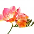 Pink and yellow freesia — Stock Photo #5021735