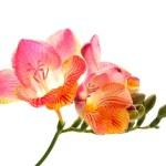 Pink and yellow freesia — Stock Photo