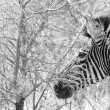 Zebra — Stock Photo #4399173