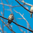 Stock Photo: Sparrows