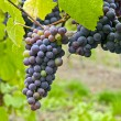 Stock Photo: Red Wine Vineyard 2