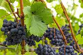 Red Wine Vineyard 3 — Stock Photo