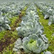 Stock Photo: Cabbage Patch in Oregon 2