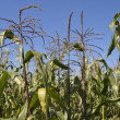 Stock Photo: Corn Field Maize