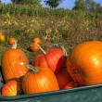 Pumpkins in Wheelbarrow — Stock Photo