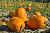 Pumpkin Patch 2 — Stock Photo