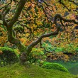 Old Japanese Red Lace Leaf Maple Tree Panorama 2 - Stock Photo