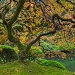旧日本红色蕾丝叶槭树全景图 2 — 图库照片