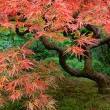 Stock Photo: Old Japanese Red Lace Leaf Maple Tree 2