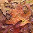 Red Oak Autumn Leaves Background — Stock Photo