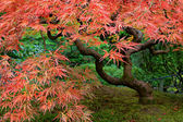 Old Japanese Red Lace Leaf Maple Tree 2 — Stock Photo