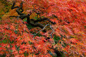 Old Japanese Red Lace Leaf Maple Tree 3 — Stock Photo