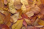 Liście drzewo buk amerykański — Zdjęcie stockowe