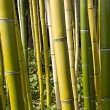 Stock Photo: Bamboo Forest Perspective 2