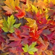 Maple Leaves Mixed Fall Colors Background 2 - Stock Photo