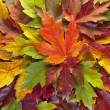 Stock Photo: Maple Leaves Mixed Fall Colors Background